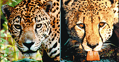 Some say it is difficult to tell a leopard from a cheetah. But, if you know  what to look for, it's simple. One way to tell these cats apart is to look  ...