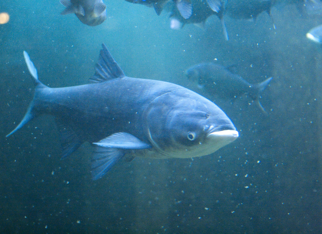 Works cited the impacts of invasive species for Japanese carp
